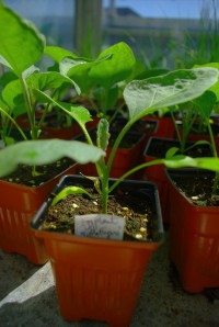 Eggplant Seedling for Seedling Sale