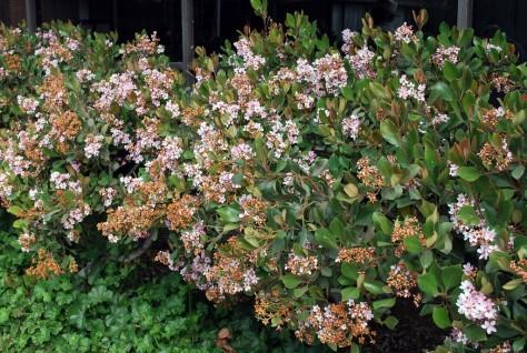 indian-hawthorn-plant.jpg